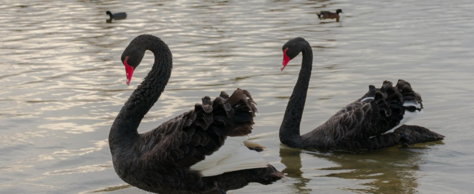Black Swans – And nothing to do with the rubbish movie!